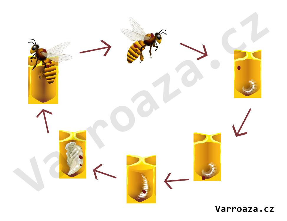 varroa-cyklus